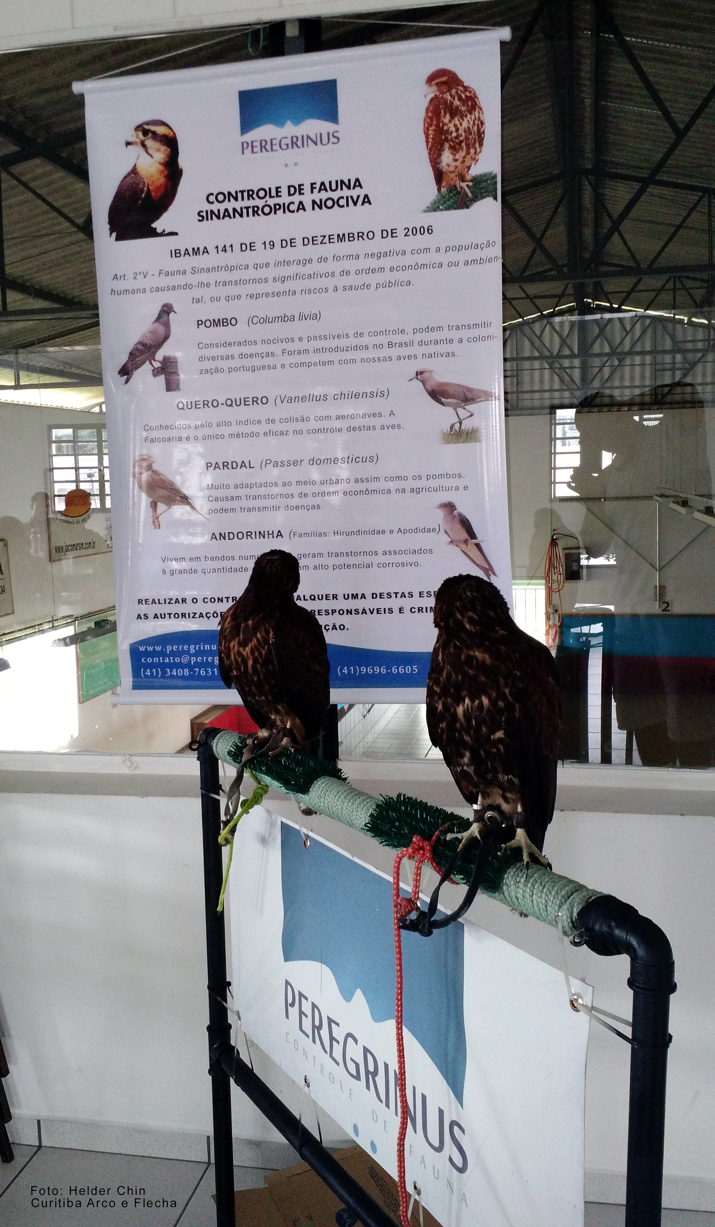 Peregrinus_CF_IIICIFMAV_Gaviões_(2)