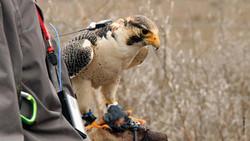 Falco Peregrinus9