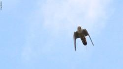Falco Peregrinus4