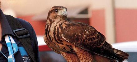 problemas com pombos, controle de fauna, pombos curitiba, paraná, aves de rapina