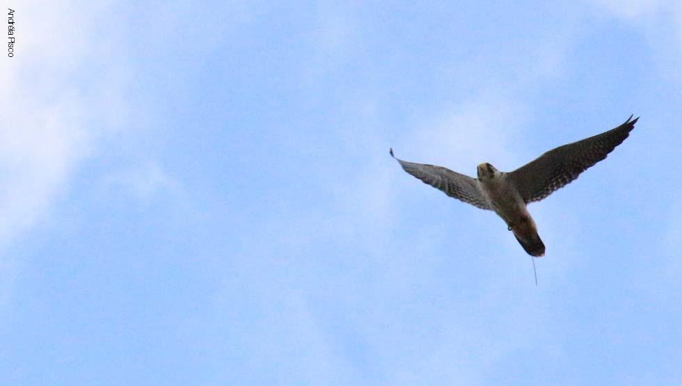 Falco Peregrinus5.1