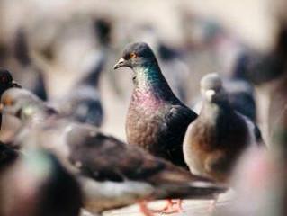 Pombos podem disseminar fungos e contaminar humanos