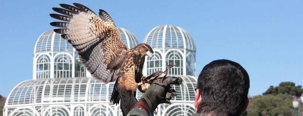 problemas com pombos curitiba paraná falcoaria fauna controle, rapinantes