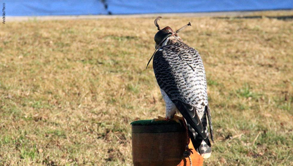 Falco Peregrinus7