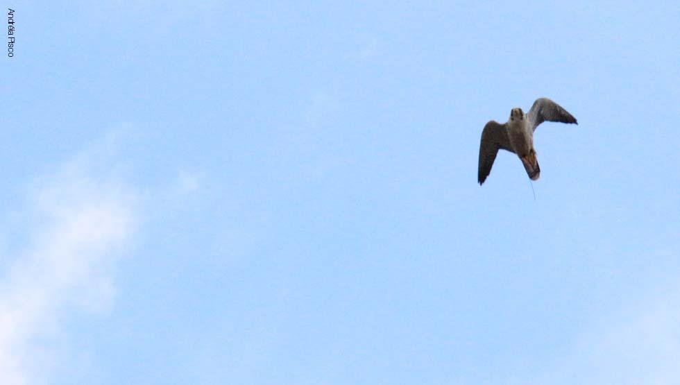 Falco Peregrinus6
