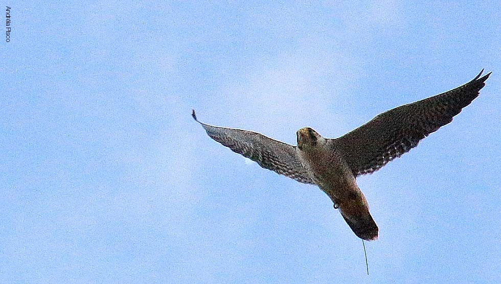 Falco Peregrinus5