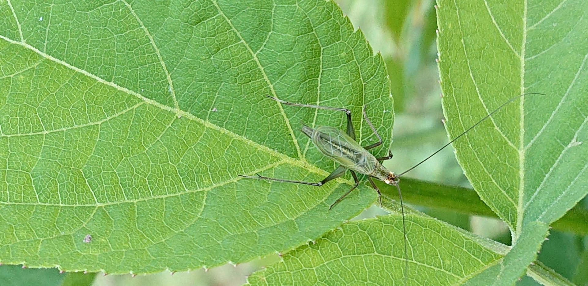 秋の虫 カンタン、マツムシ、スズムシ この虫は?