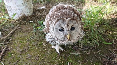 のべやま高原のフクロウ