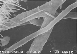 Wide-hyphae-crystal-free-from-the-casing