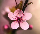 flowering-cherry-blossom_edited.jpg