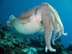 Cuttlefish la favela gili trawangan