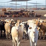 Cattle in Pens_ 50.jpg
