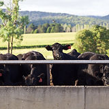 Cattle at Feed Trough_ 294.jpg