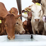 Cattle at Water Trough_ 17.jpg