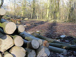 Piles of logs in Tinkers Wood