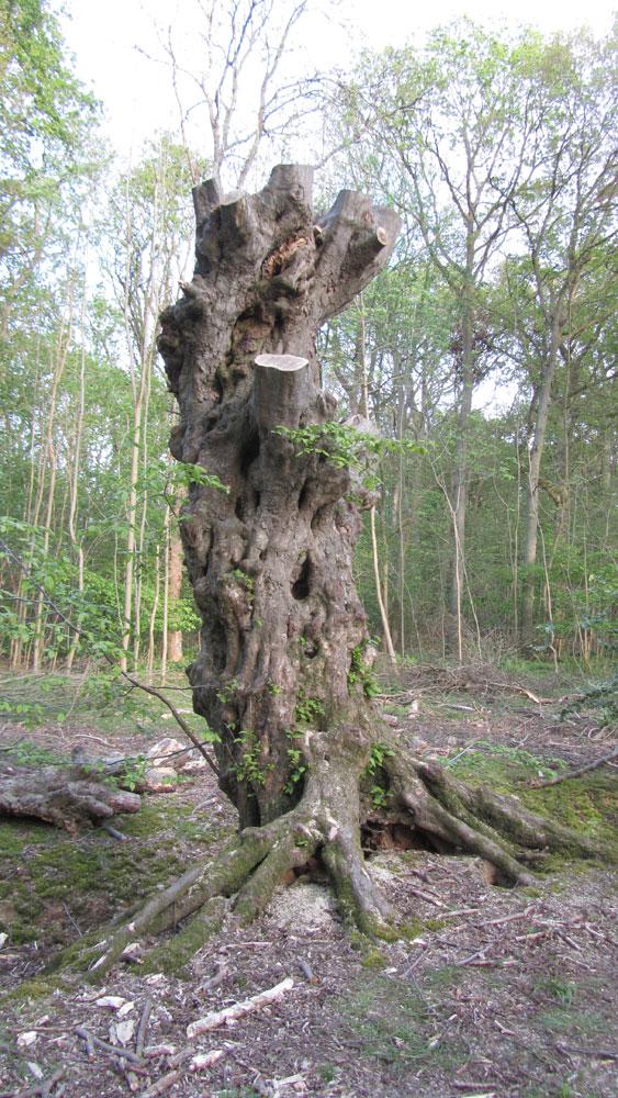 Hornbeam Pollard in Mellfield Wood