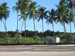 Des cocotiers