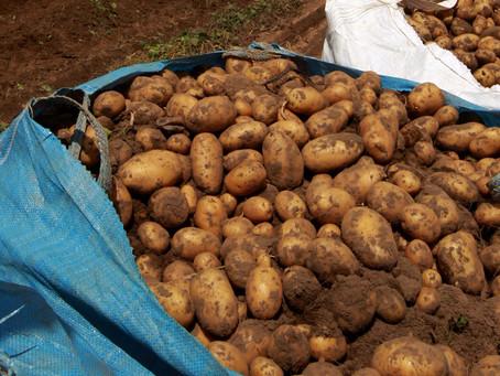 Região de Ponta Grossa já colheu 80% da primeira safra de batata