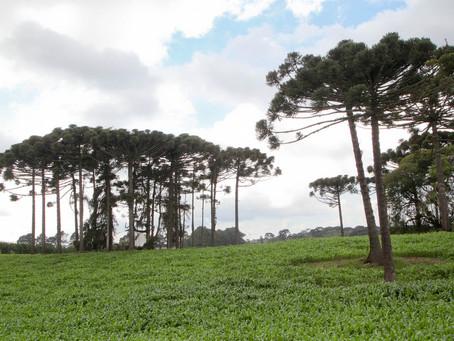 Estado conclui plantio de 4 mil mudas de araucária em Ponta Grossa