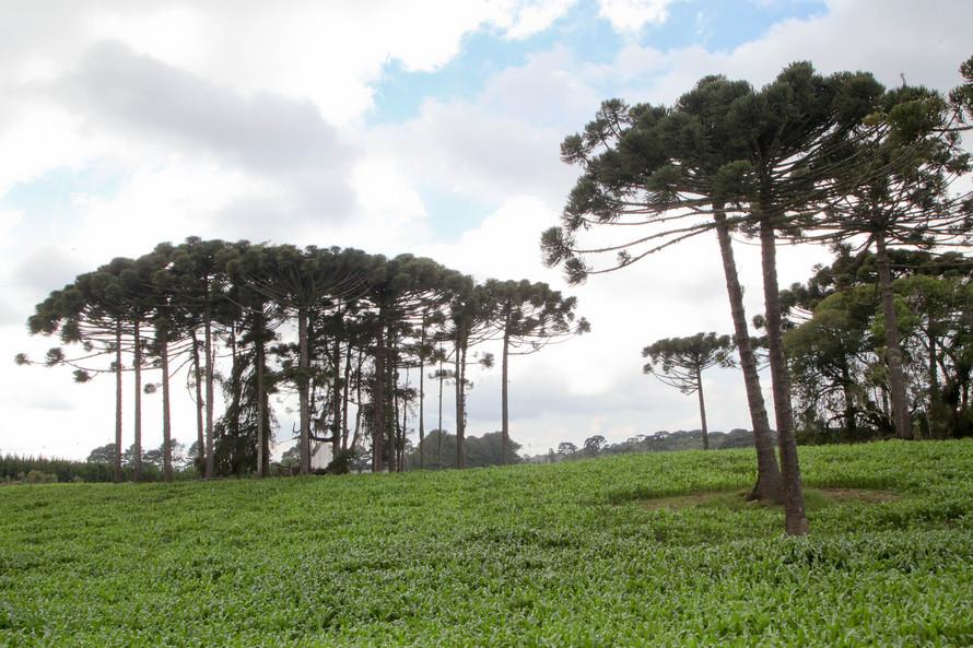 Governo do Estado faz plantio de mudas de araucária. Foto: Ari Dias/AEN