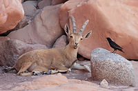 Ibex and bird