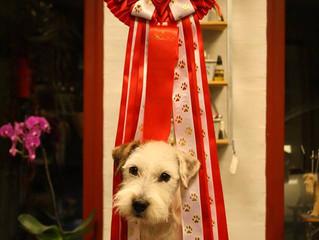 Årets Parson Russell Terrier 2016 i DTK