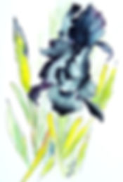 Black Iris_g2it5 2.jpg