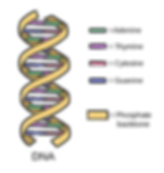 DNA_simple2..png