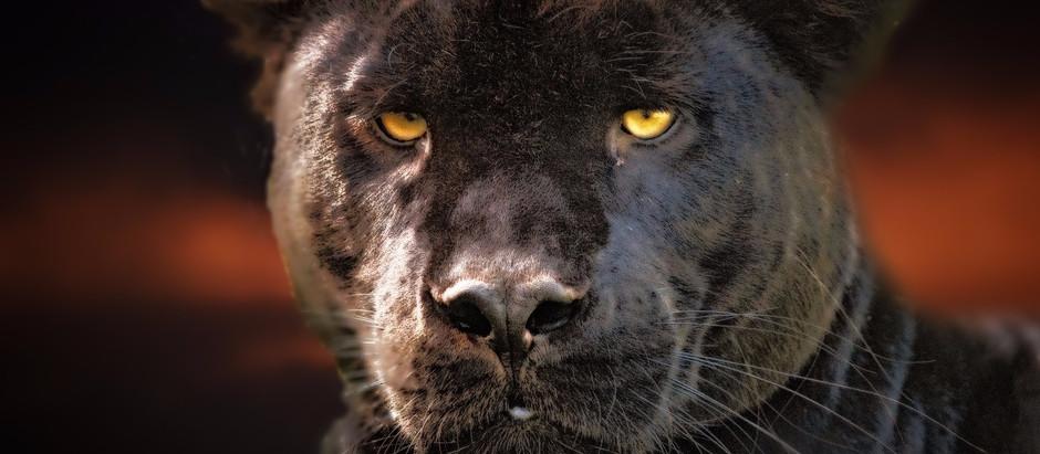 L'animal totem, la panthère noire : le gardien, le courage et la puissance !