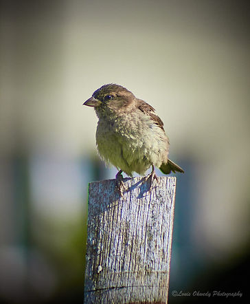 A chaffinch sitting on a wooden post
