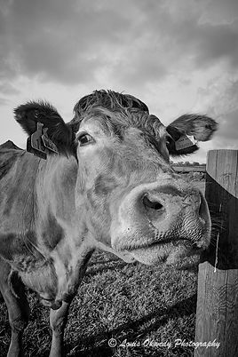 Close up study of a cow, pembrokeshire
