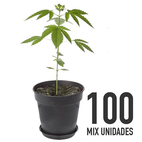PLANTIN FEM - MIX X100 UNIDADES