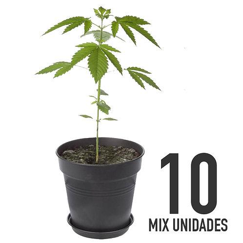 PLANTIN FEM - MIX X10 UNIDADES