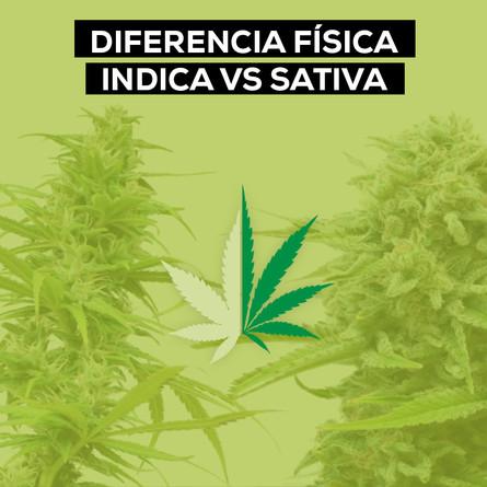 DIFERENCIA DE APARIENCIA FÍSICA ENTRE INDICA Y SATIVA