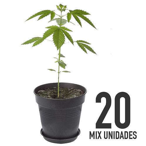 PLANTIN FEM - MIX X20 UNIDADES