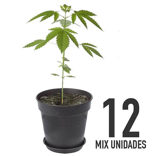 PLANTIN FEM - MIX X12 UNIDADES