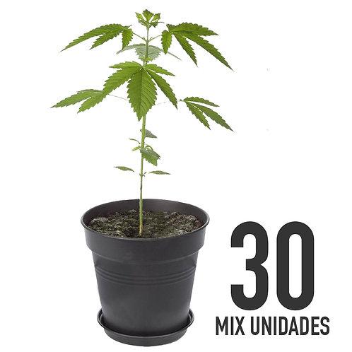PLANTIN FEM - MIX X30 UNIDADES