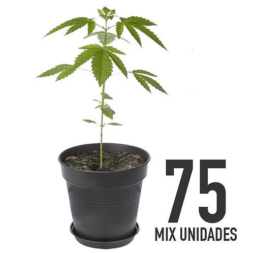 PLANTIN FEM - MIX X75 UNIDADES