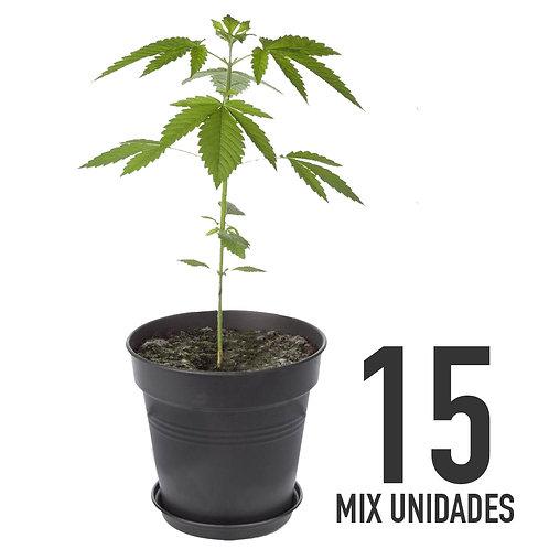 PLANTIN FEM - MIX X15 UNIDADES