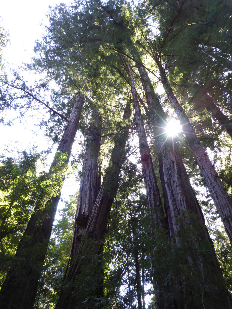 Henry Cowell Redwoods 2015.05.03_P109083