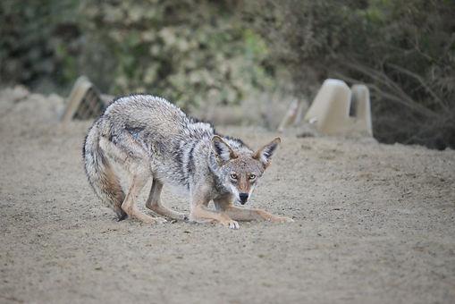 Dressage Coyote