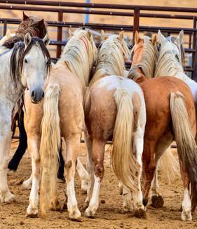 BLM Mustangs