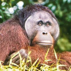 Orangutan on University Island
