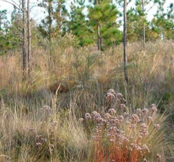 Wiregrass Restoration