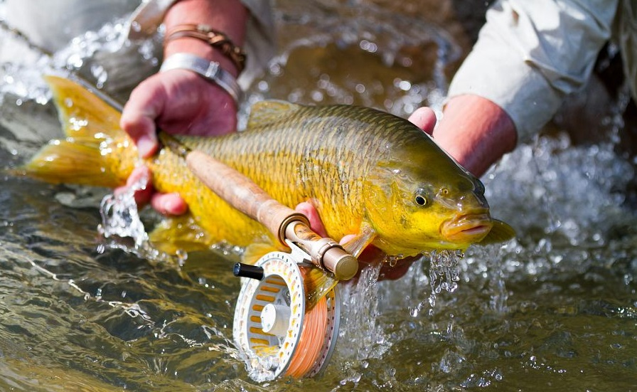 Yellowfish on fly