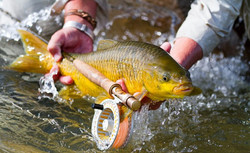 Yellowfish on fly
