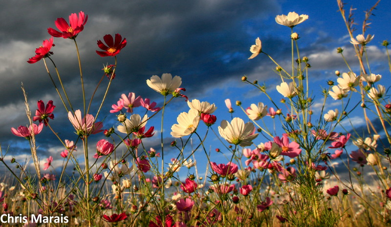 Cosmos in the Eastern Free State
