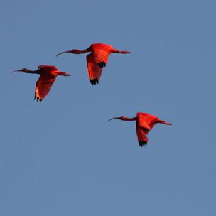 Amazing Island Nature: Trinidad's spectacular scarlet ibis