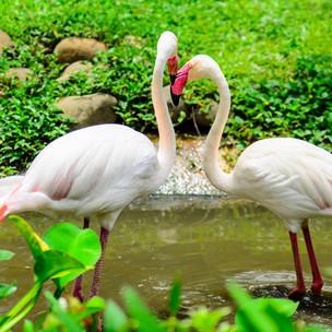 Amazing Island Nature: the fabulous flamingo