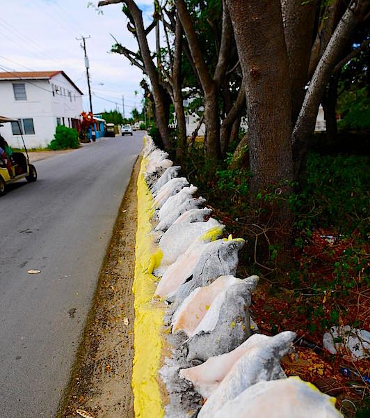 conchs in Bimini Bahamas